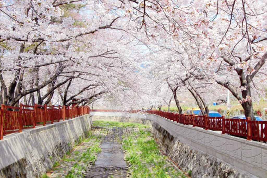 Jinhae Gunhangje Cherry Flower Festival, Busan