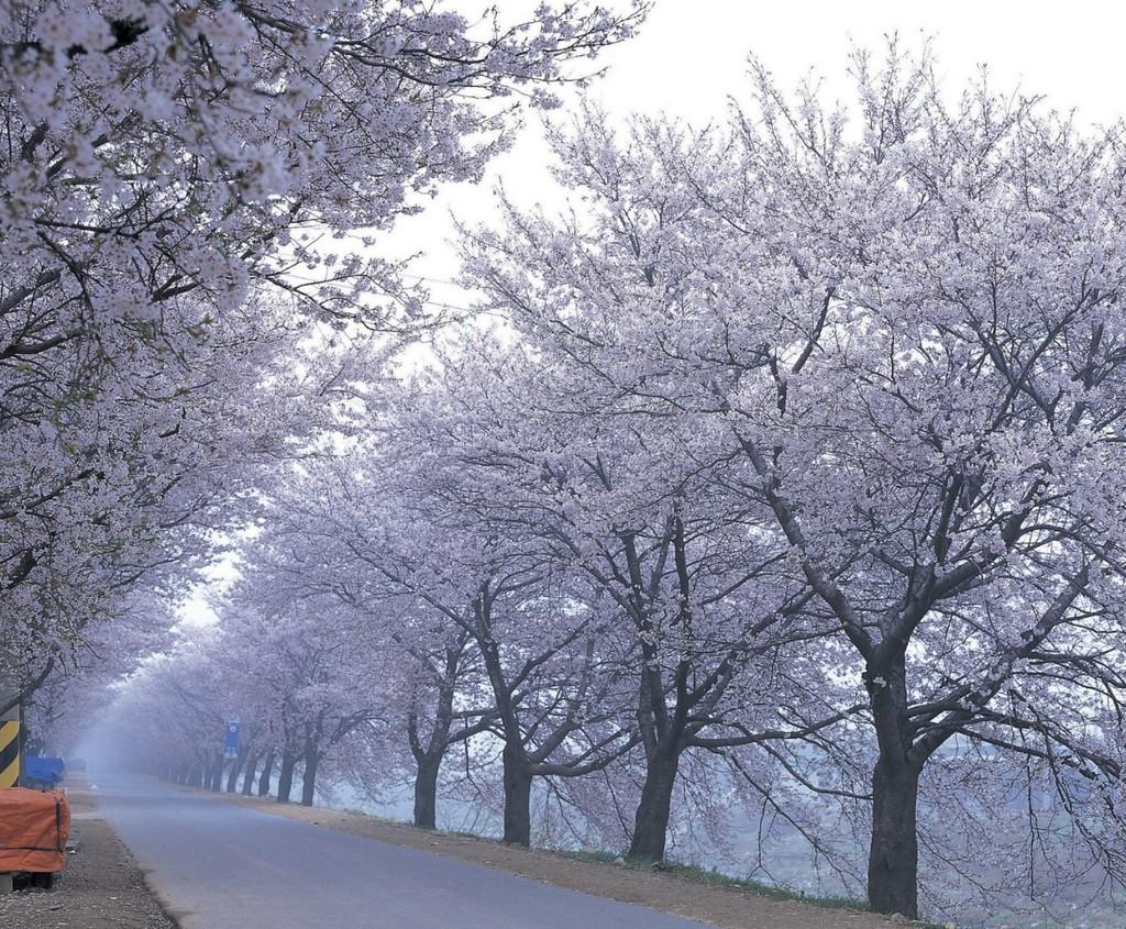 Cherry blossom festival on Jeju Island
