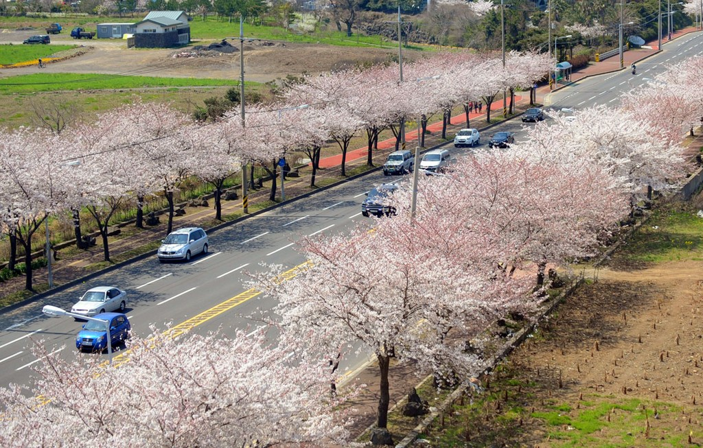 Cherry blossom festival on Jeju Island Credit: Cherry blossom festival Korea 2019 blog.