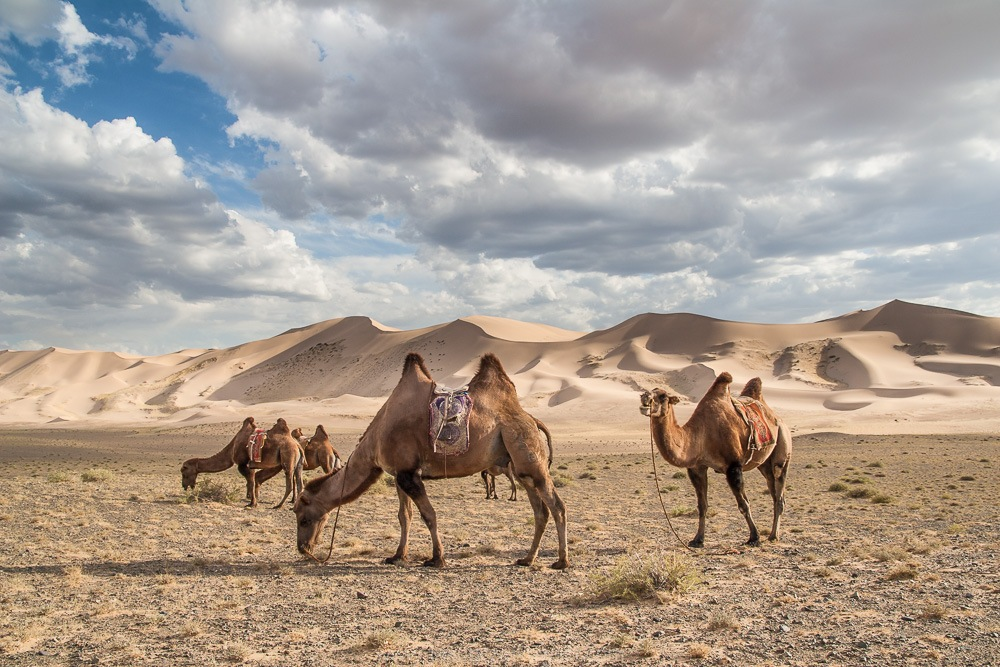 riding-camel in the Gobi desert-best experiences-in Mongolia1
