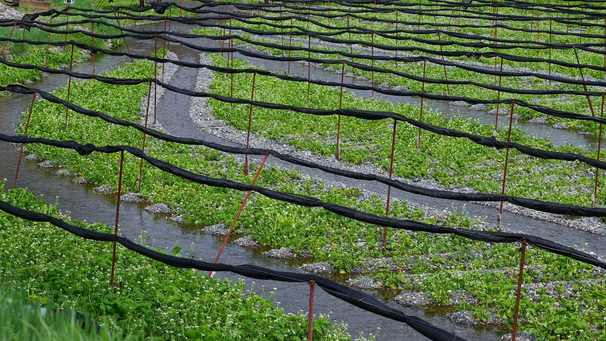 wasabi farm nagano daio wasabi farm shizuoka city nagano prefecture (1)
