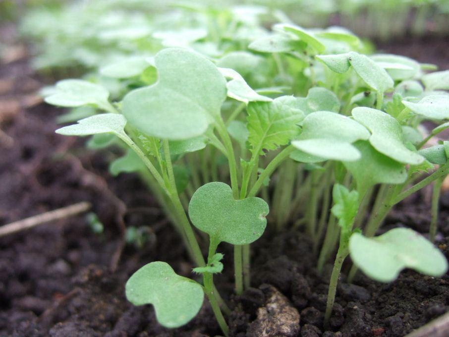 wasabi seedlings