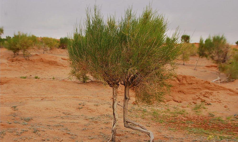 Plants in Gobi Desert
