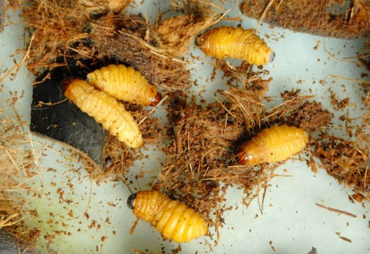 vietnamese coconut worm (1)