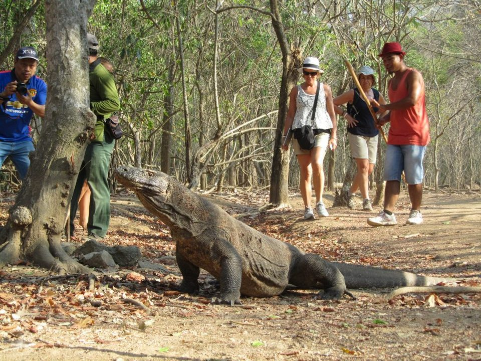 komodo dragon and tourists