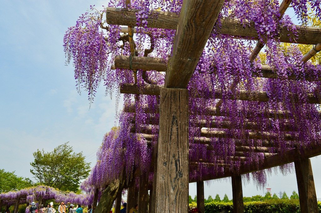 Wisteria flowers in Kamitoba