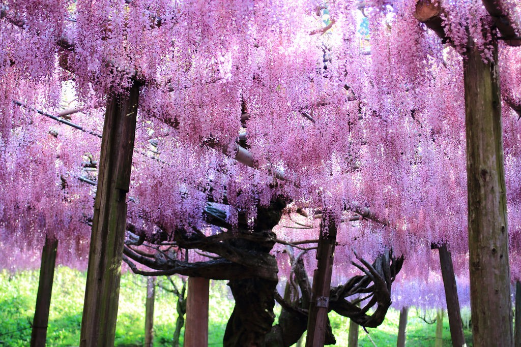 Wisteria flowers in Kamitoba1