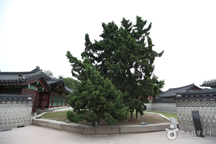 Hyangnamu Tree in Changdeokgung Palace