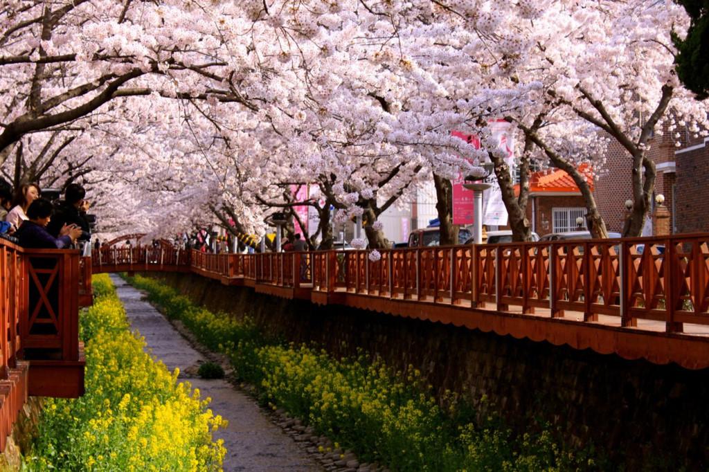 Jinhae cherry blossom festival fun things to do in korea top things to do in south korea fun things to do in south korea