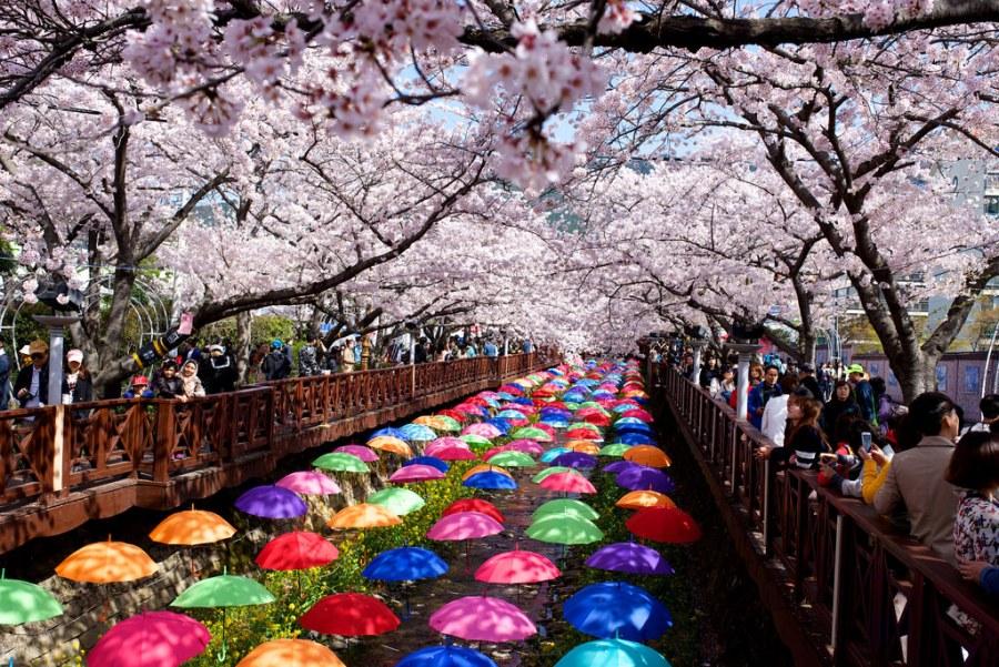 Jinhae cherry blossom festival1
