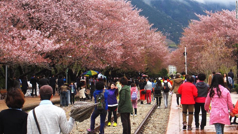 Jinhae cherry blossom festival2