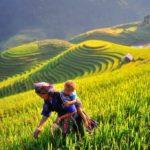 Yellow season in Hoang Su Phi, Northwestern Vietnam