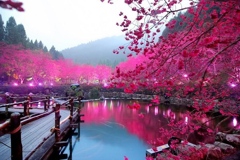 Cherry Blossom Festival3