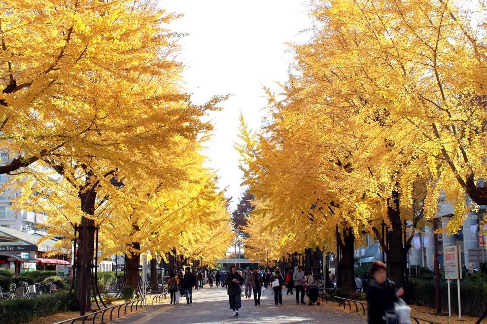 Meiji Jingu Gaien Park autumn tokyo (1)