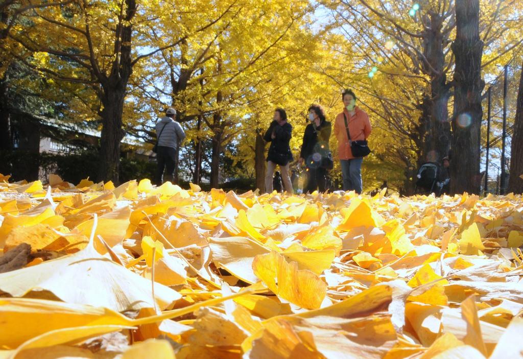 Visitors stroll on ginkgo leaves at Gaien Park