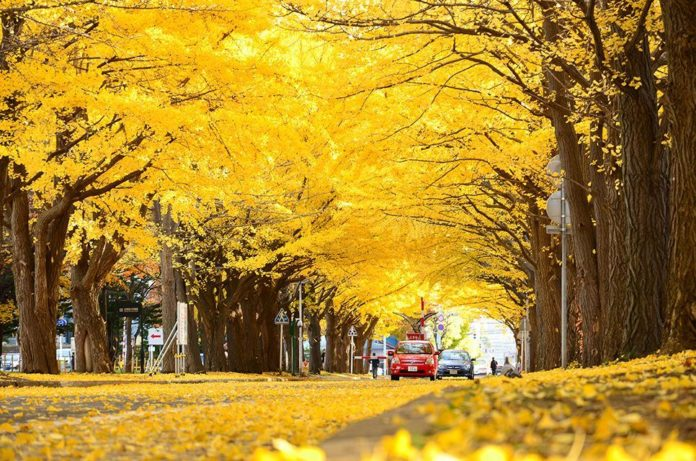 The yellow ginkgo leaves made for a great scene as you walk down the main street
