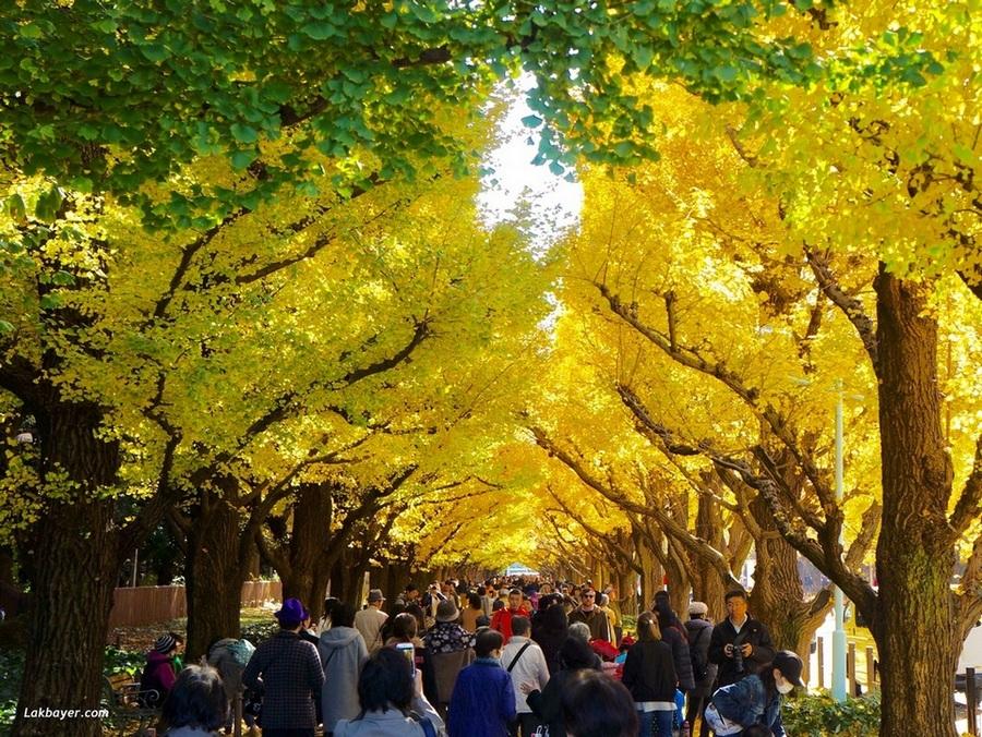 Meiji-jingu Gaien's Ginkgo Avenue