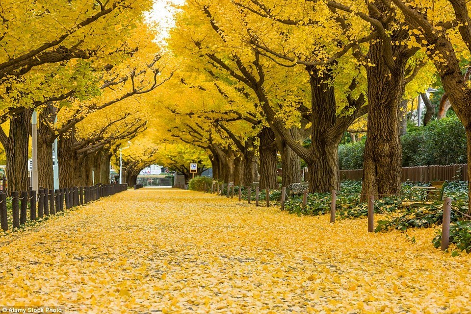 This particular tree tunnel can be tracked down in the Meiji-Jingu Gaien Park,