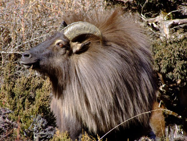 Himalayas animal