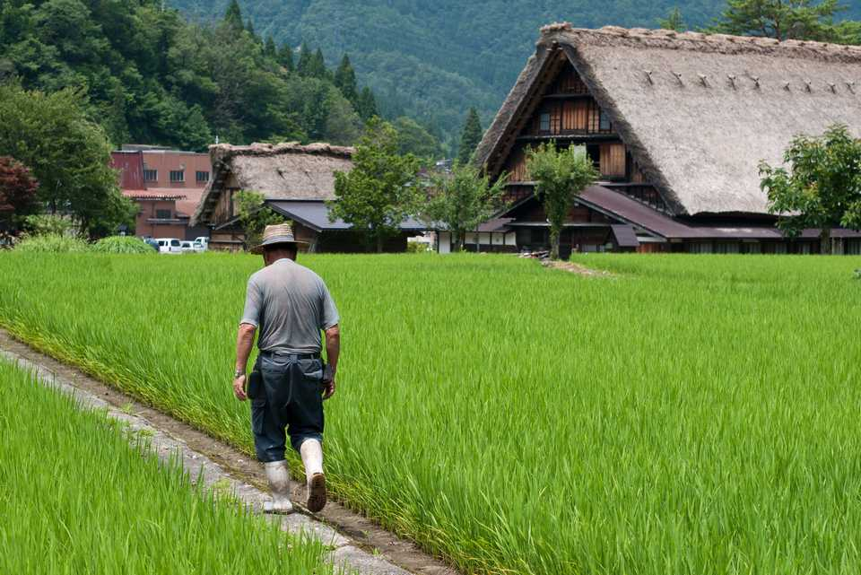 A farmer walking along rice