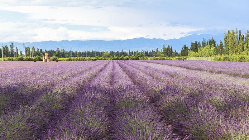 Xinjiang-lavender fields
