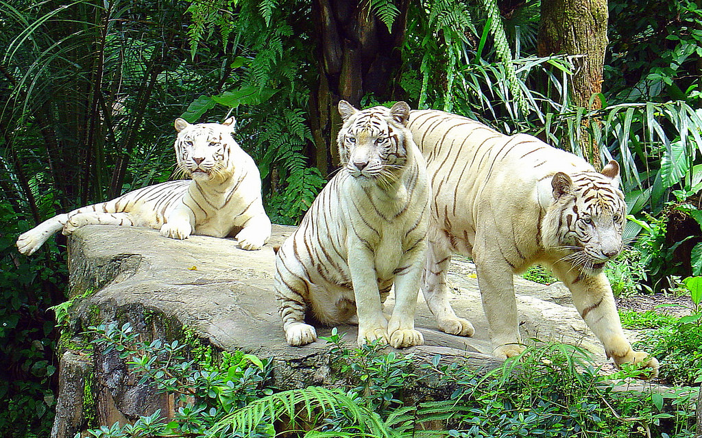 Siberian white tigers Photo by: Singapore Zoo tips blog.