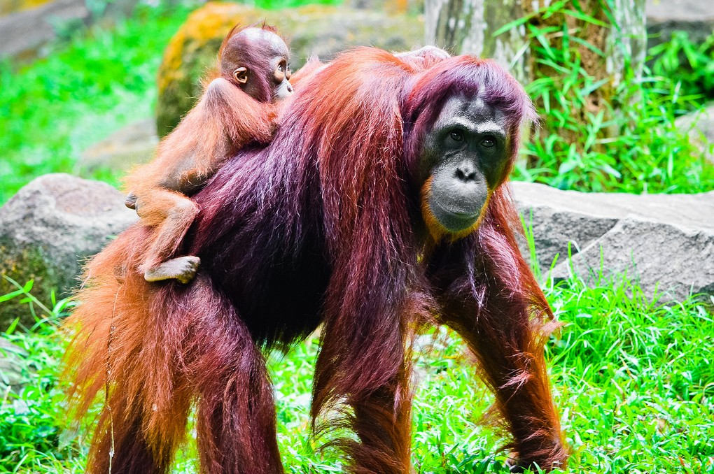 The singapore zoo7