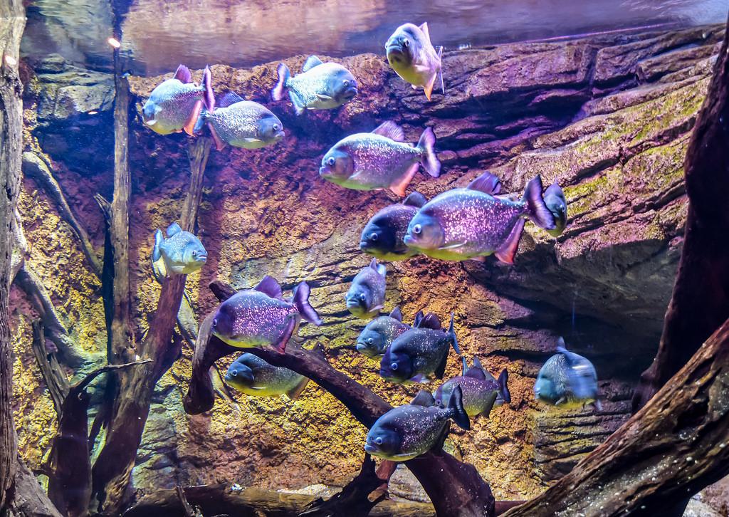 pirana fish
