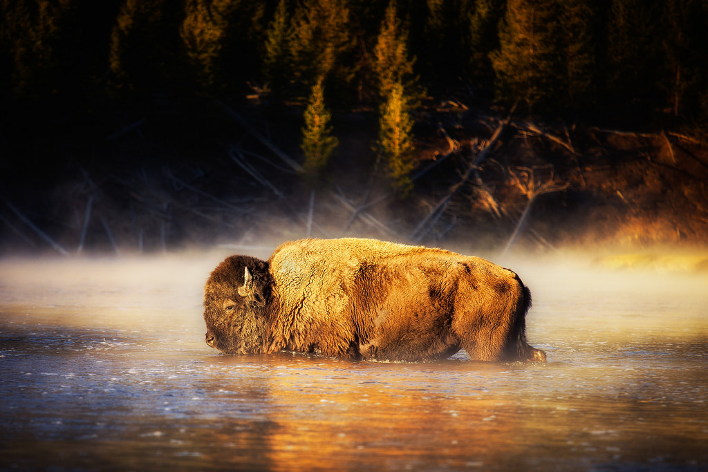 Bison in the River in Yellowstone by Michael Matti