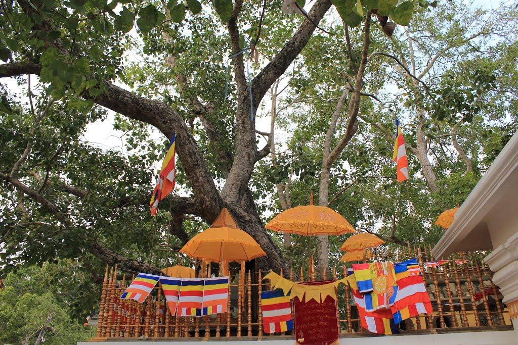 Jaya Sri Maha Bodhi a Sacred Fig tree in Anuradhapura, Sri Lanka.