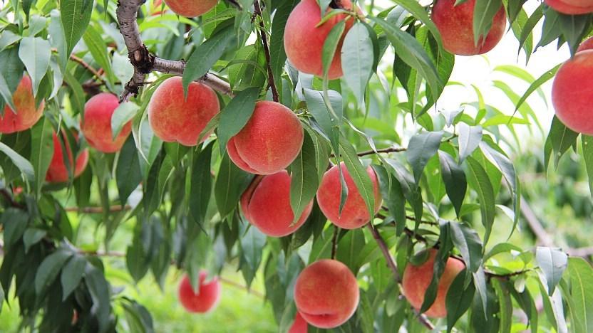 Yamamoto fruit orchard-hokkaido2 Picture: places to eat in hokkaido blog.