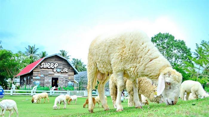 pattaya sheep farm 2