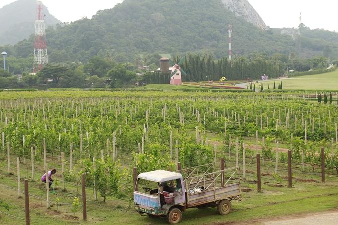 silverlake grape farm 3