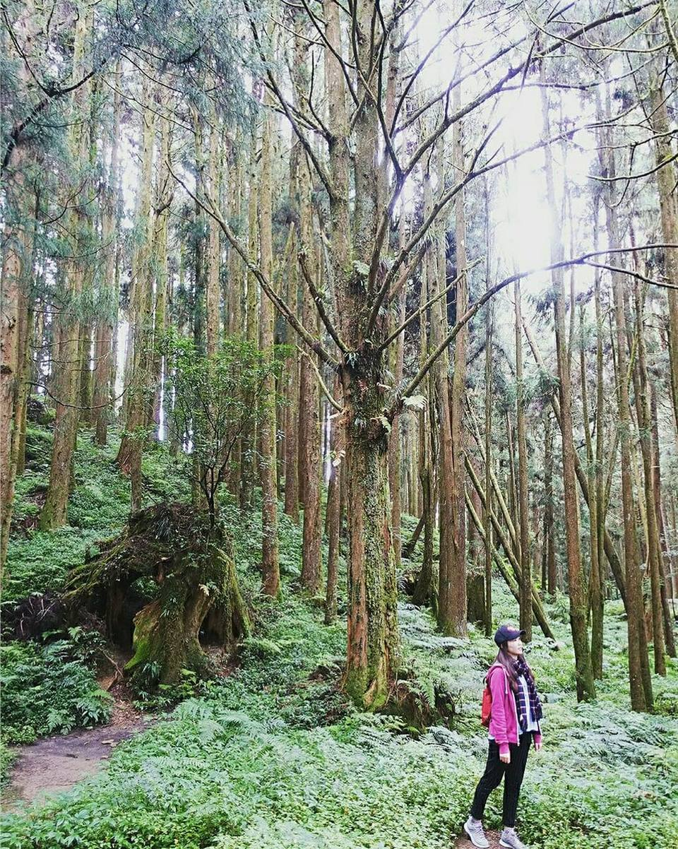 giant-trees-trail-alishan-taiwan1