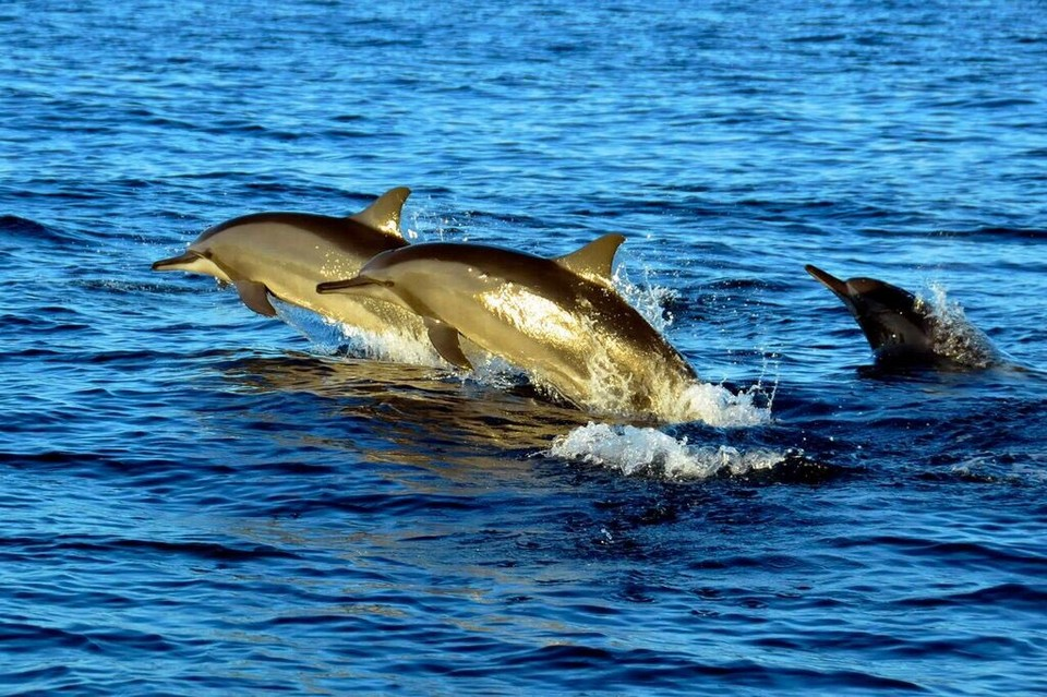 Panglao dolphin1 Image by: what to do in bohol 2017 blog.