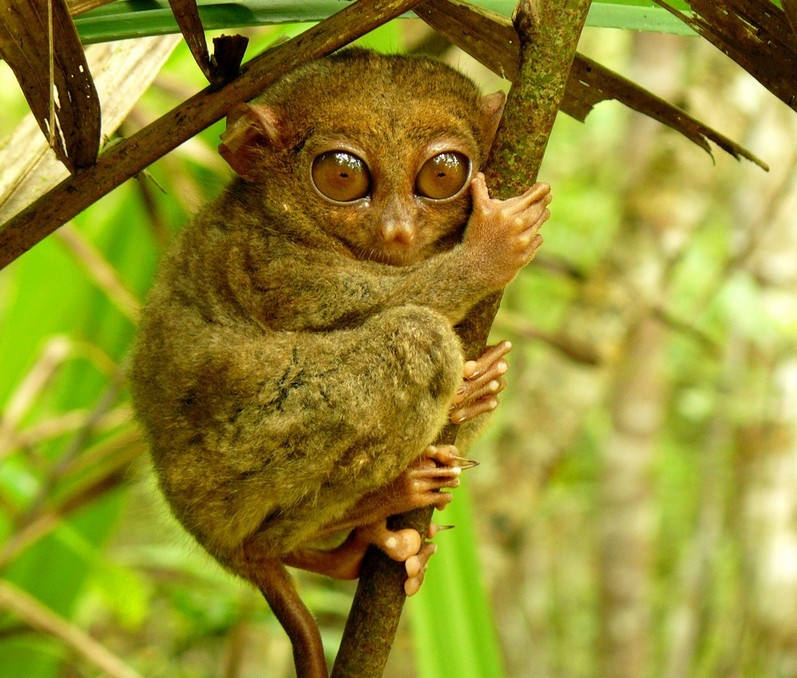 Tarsier monkeys bohol travel blog bohol travel guide bohol activities things to do in bohol island