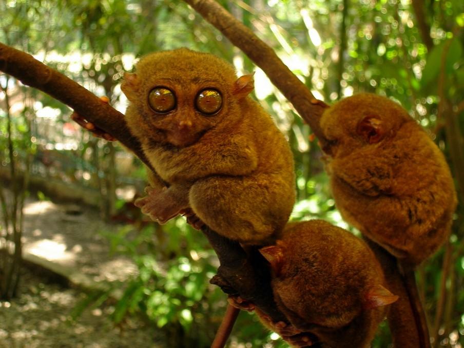 Tarsier monkeys3