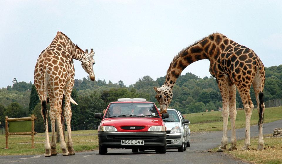 Pattaya giraffe