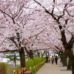 Cherry blossom in Korea 2018 forecast — The best time & Top 9 best places to see Cherry blossoms in Korea