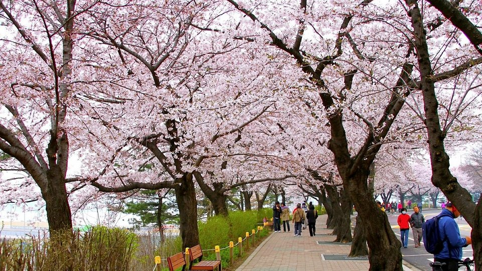 Cherry Blossom In Korea 2019 Forecast The Best Time Top 9 Best