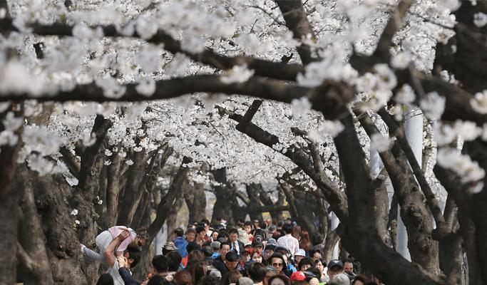01-yeouido-cherry-blossom-festival-KOREA-NET (1)
