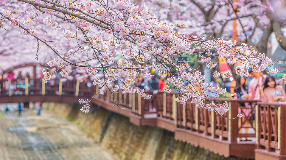 11cherry blossom in korea 2019 forecast