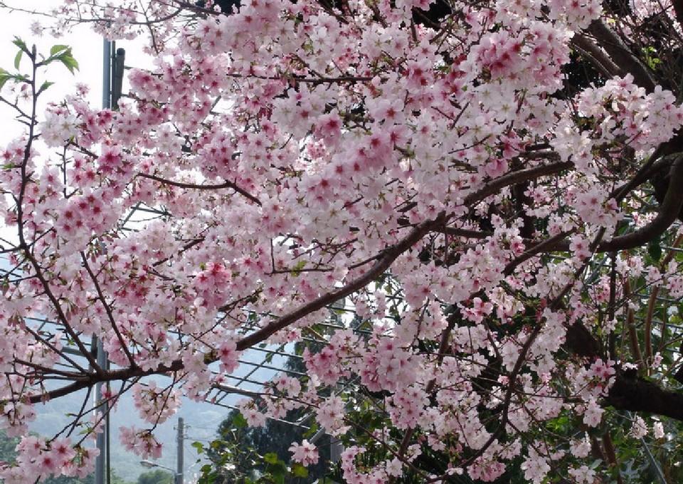 Alishan during cherry blossom season