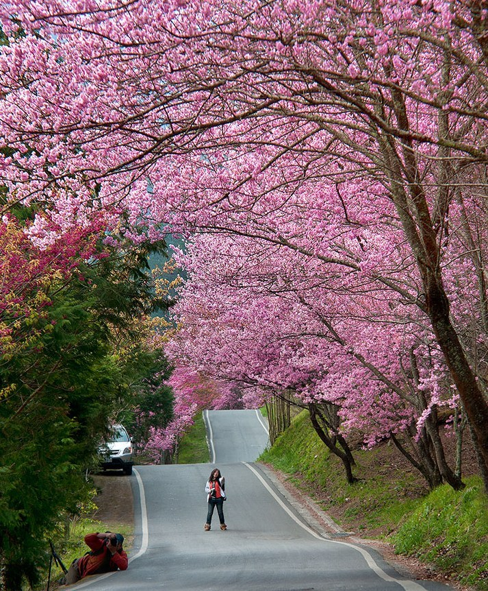 Aowanda Forest Recreation Area cherry blossom in taiwan 2018 forecast taiwan cherry blossom blog
