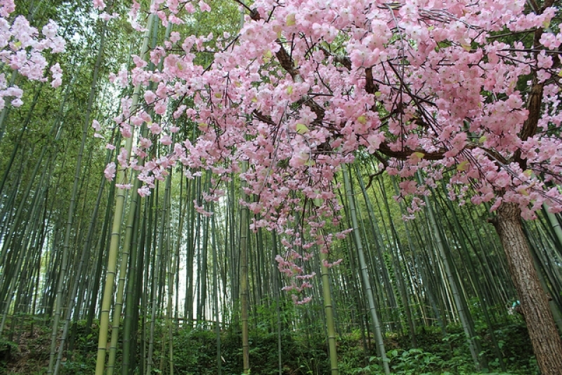 Bamboo Forest, Juknokwon cherry blossom in korea 2018 forecast korea cherry blossom 2018 forecast