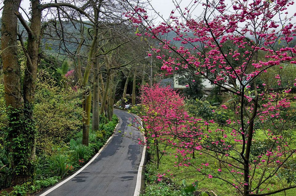 Cherry Blossom Trail cherry blossom in taiwan 2018 forecast taiwan cherry blossom blog