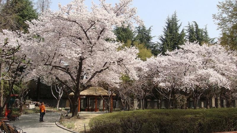 Cherry blossom spots in Daegu cherry blossom in korea 2018 forecast korea cherry blossom 2018 forecast