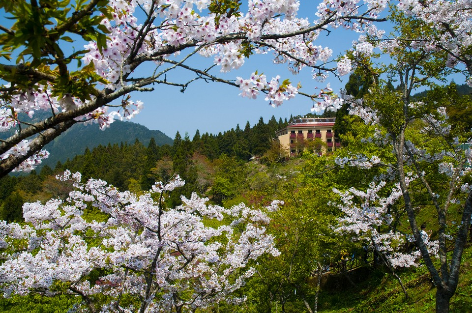 Cherry blossoms in bloom in Alishan, Taiwan