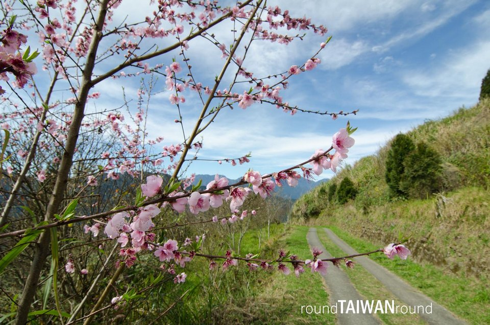 Cingjing cherry blossom in taiwan 2018 forecast taiwan cherry blossom blog