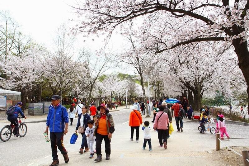 cherry blossom in korea 2018 forecast korea cherry blossom 2018 forecast